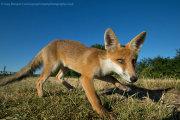 Wide angle fox cub 2