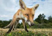 Wide angle fox cub 1
