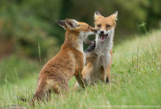 Fox cub confrontation 6
