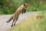 Young fox jumping 1