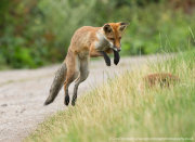 Young fox jumping 2