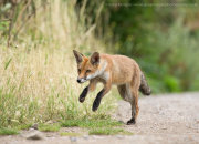 Young fox running 1