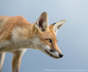 Fox portrait 1