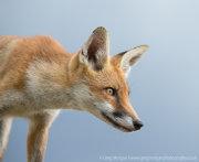 Fox portrait 1