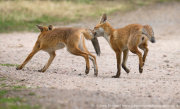 Young fox biting tail 2