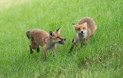 Young foxes chasing each other