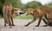 Fox cub confrontation 2