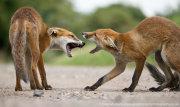 Fox cub confrontation 2