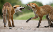 Fox cub confrontation 1