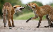 Fox cub confrontation 1