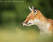 Fox portrait 2