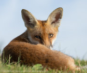 Fox portrait over shoulder