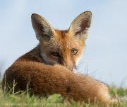 Fox portrait over shoulder