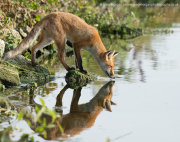 Young fox drinking