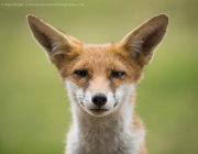 Big-eared fox cub portrait