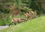 Fox cubs playing 2