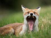 Fox yawning 1