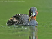 Little grebe with fish 3