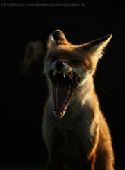 Sidelit fox yawning 1