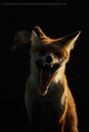 Sidelit fox yawning 2