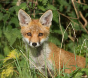 Fox cub in bushes