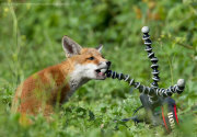 Fox cub chewing tripod