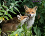 Fox cub with adult