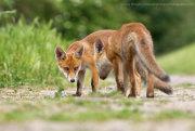 Fox cub confrontation 5