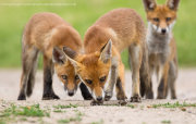 Three fox cubs 2