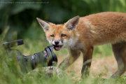 Fox cub chewing lens hood