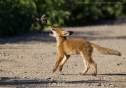 Fox cub playing with dead bird