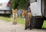 Fox cubs standing by car