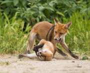 Fox cubs fighting 5