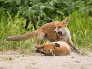 Fox cubs fighting 6