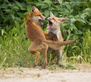 Fox cubs fighting 4