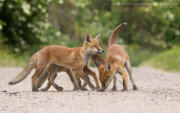 Three fox cubs 1