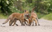 Three fox cubs 1