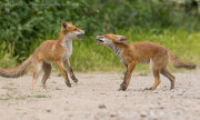 Fox cub confrontation 4