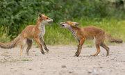 Fox cub confrontation 4