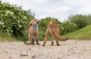 Fox cub confrontation 3
