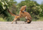 Fox cubs fighting 3