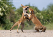 Fox cubs fighting 1
