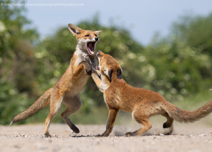 Fox cubs fighting 2