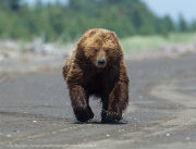 Brown bear running at camera
