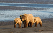 Brown bear family 2