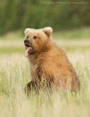 Brown bear sticking its tongue out