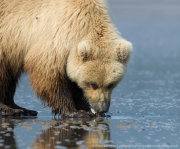 Brown bear clamming closeup 1