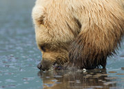 Brown bear clamming closeup 2