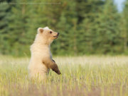 Brown bear cub standing 1