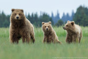 Brown bear family 1